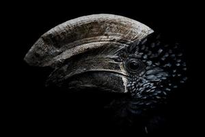 Silvery-cheeked hornbill and his portrait photo