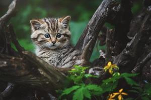 European wild cat detail portrait cat kitten photo