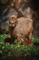 Capybara mother with baby photo