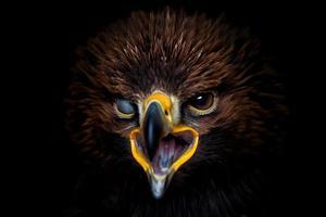 Golden eagle  detail portraint on black background photo