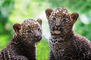 ceilán, leopardo, panthera pardus, kotiya, detalle, retrato foto