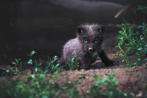 Arctic fox detail portrait photo