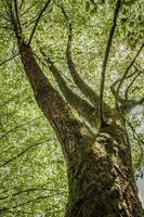 Old frail tree with thick branches, wide trunk, lush green leaves photo
