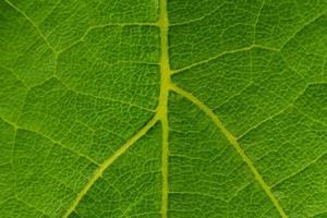 Textura de fondo de macro de hoja de uva verde foto