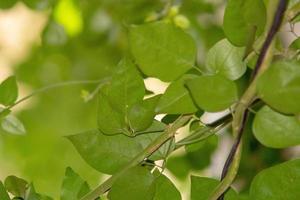 hojas de jazmín de madagascar foto