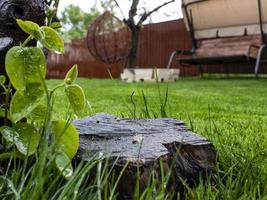 Green grass and wooden stump in the yard photo