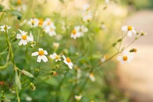 Flores margaritas en verano primavera pradera en segundo plano. foto