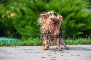 heat wet yorkshire terrier shakes-down at park photo
