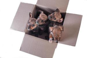 four outbred puppies in a cardboard box on a white background photo