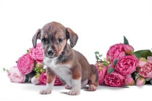 Cachorro mestizo sobre un fondo de flores artificiales de peonías foto