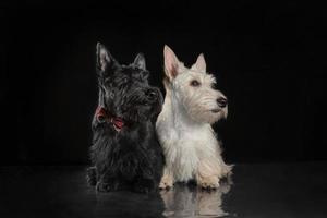 pair of black and white scottish terrier puppies on dark background photo