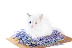 gato blanco laico plano con heterocromía en corona de lavanda foto