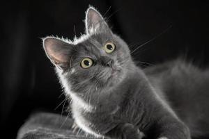 gato azul adulto sobre un fondo negro foto