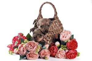 two mongrel puppies in basket with flowers on white background photo