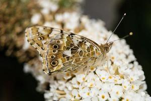Butterfly Vanessa Cardui or Cynthia cardui in the garden photo