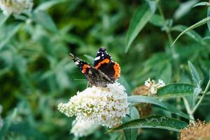 buddleja davidii el arbusto de las mariposas foto