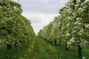 Flowering fruit trees in the old Country near Hamburg Germany photo