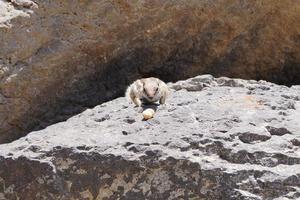 ardilla de tierra de Berbería foto