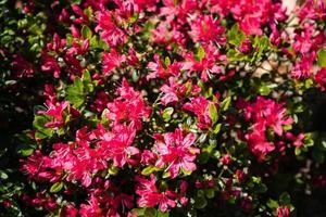 rhododendron azalea blossom in spring photo