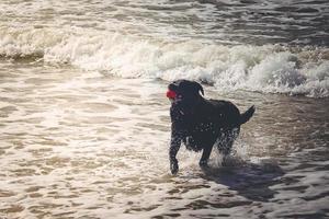 Black Labrador Retriever is playing on the beach of Blavand Denmark photo