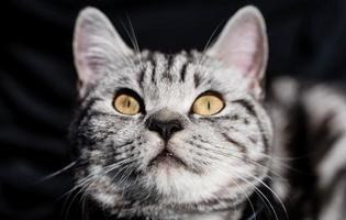 grey british short hair cat photo