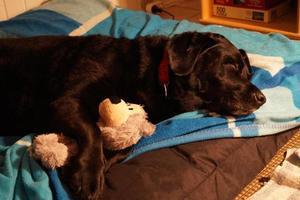 Black Labrador Retriever sleeps with her Teddy photo