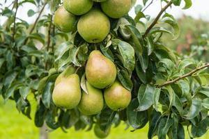 Pears Plantage in Hamburg old land photo