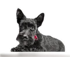 Cachorro terrier escocés negro sobre un fondo blanco. foto