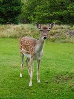 en blavand, ciervos salvajes pero confiados vienen a las casas de vacaciones para ser alimentados foto