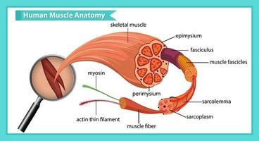 Human muscle anatomy with body anatomy vector