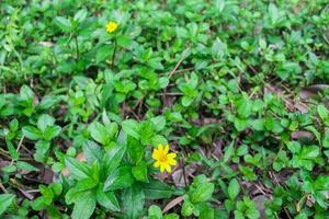 Wild plant with beautiful yellow flowers photo
