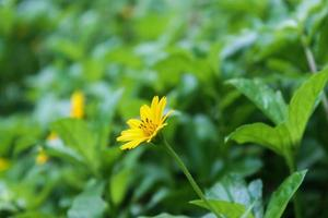 Close-up of wild plant with beautiful yellow flowers photo