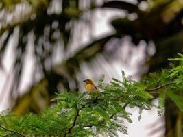 pájaro tejedor sentado en el árbol foto