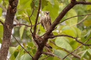Baby Eagle sitting on the tree photo