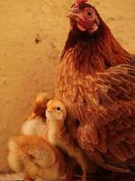 Little Chick at home , Baby Chick with family photo