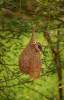 Weaver Bird sitting on the nest , Nature background photo
