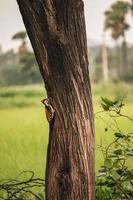Woodpecker on tree , Baby woodpecker photo