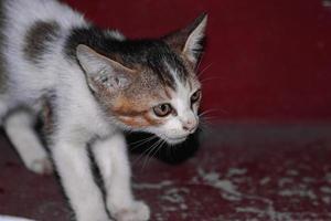 Bebé gato sentado en los escalones, en casa, mirando a la cámara foto