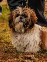 Little dog , Dog at Dogs park , pets lover photo