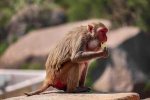 Mono macaco Rhesus, mono sentado en la pared, comiendo plátano foto