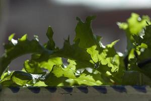 Lettuce leaf oak salad in the vegetable garden, Madrid Spain photo