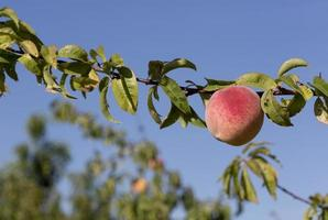 Peaches in the province of Aragon, Spain photo