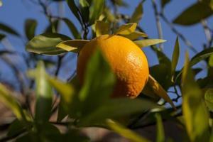 Ripe tangerine on the tree, madrid, spain photo