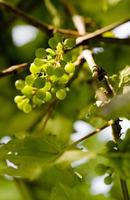 Grape still green on the vine, Lot province, France photo