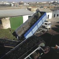 The olives arrive at the mill to make the oil, Toledo, Spain photo
