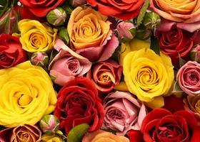 Flat lay beautifully bloomed colorful rose flowers photo
