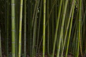 Tropical green bamboo forest. Botanical bamboo forest photo