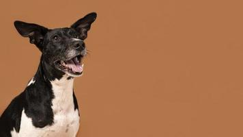 Perro pequeño siendo adorable retrato studio foto