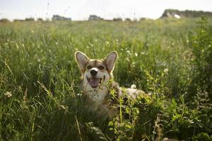 el lindo perro jugando en la hierba foto