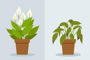 Plant withering. Two vector scenes with a healthy and a wilting plant